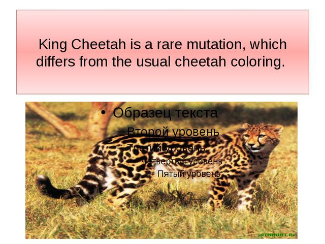 King Cheetah is a rare mutation, which differs from the usual cheetah coloring.