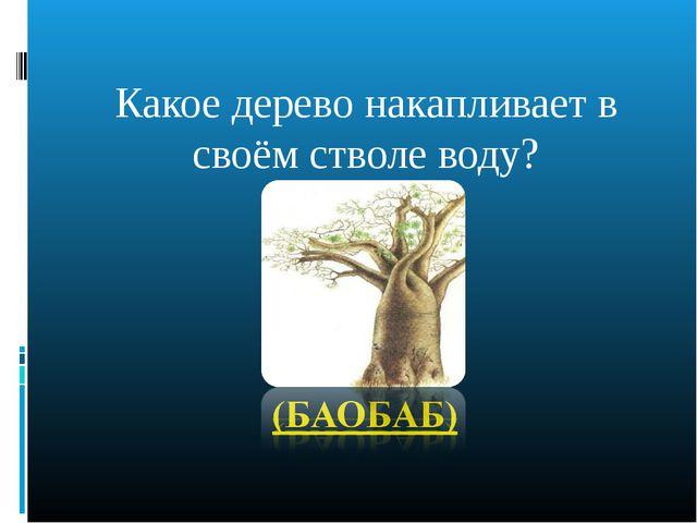 Какое дерево накапливает в своём стволе воду?