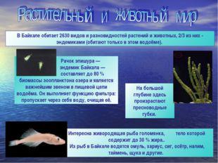 Интересна живородящая рыба голомянка, тело которой содержит до 30 % жира.. Из
