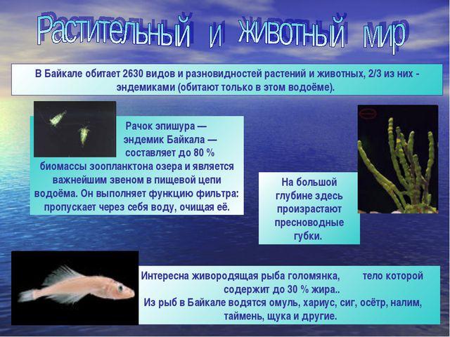 Интересна живородящая рыба голомянка, тело которой содержит до 30 % жира.. Из...