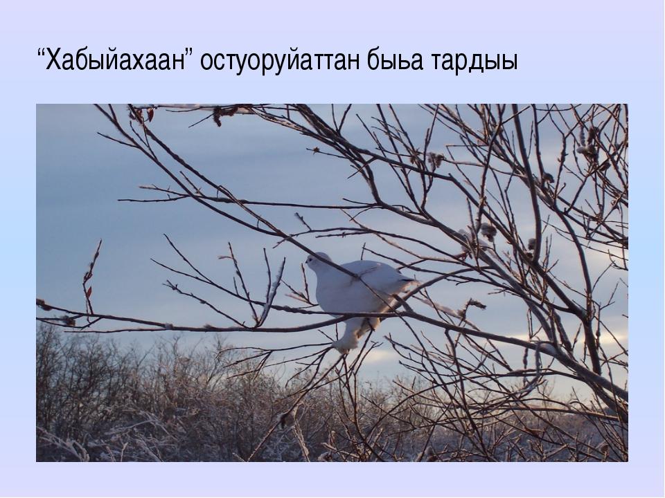 """""""Хабыйахаан"""" остуоруйаттан быьа тардыы"""