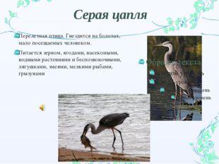 Серая цапля Перелетная птица. Гнездится на болотах, мало посещаемых человеком