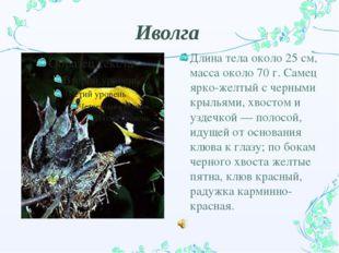 Иволга Длина тела около 25 см, масса около 70 г. Самец ярко-желтый с черными