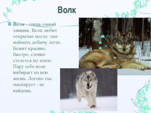 Волк Волк - очень умный хищник. Волк любит открытые места: там поймать добычу