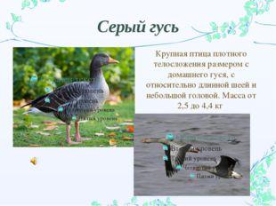 Серый гусь Крупная птица плотного телосложения размером с домашнего гуся, с о
