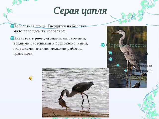 Серая цапля Перелетная птица. Гнездится на болотах, мало посещаемых человеком...