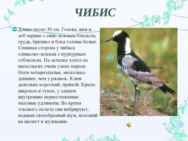 ЧИБИС Длина около 30 см. Голова, шея и зоб черные с сине-зеленым блеском, гру...