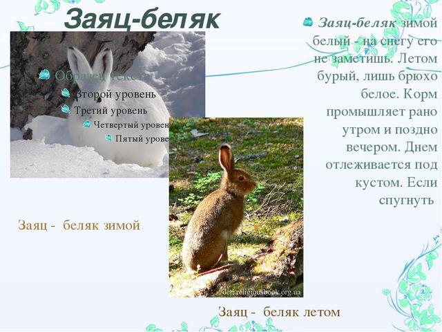 Заяц-беляк Заяц - беляк зимой Заяц - беляк летом Заяц-беляк зимой белый  на...