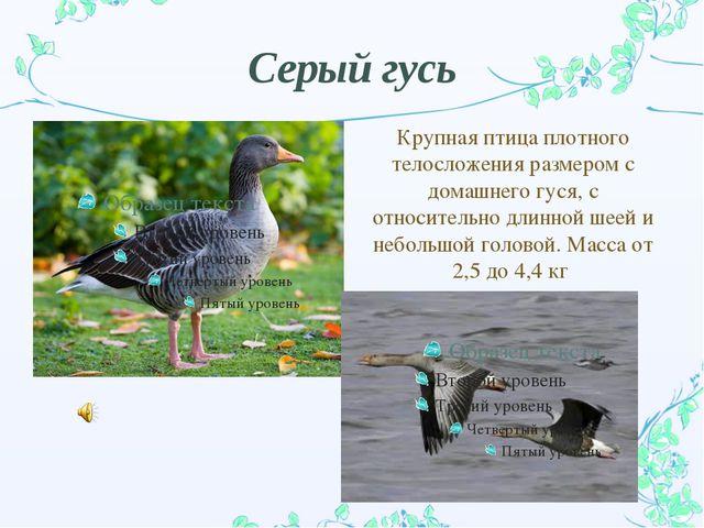 Серый гусь Крупная птица плотного телосложения размером с домашнего гуся, с о...
