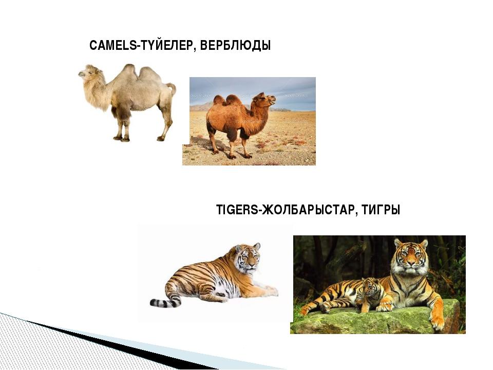 CAMELS-ТҮЙЕЛЕР, ВЕРБЛЮДЫ TIGERS-ЖОЛБАРЫСТАР, ТИГРЫ