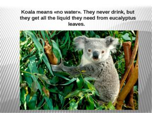 Koala means «no water». They never drink, but they get all the liquid they ne