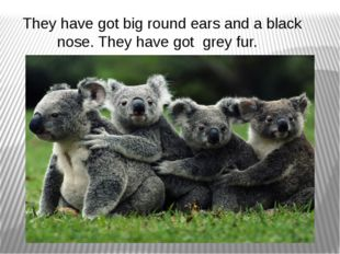 They have got big round ears and a black nose. They have got grey fur.
