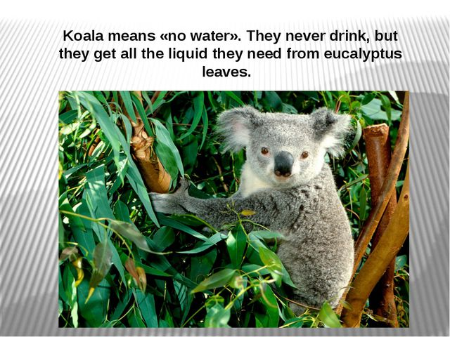 Koala means «no water». They never drink, but they get all the liquid they ne...