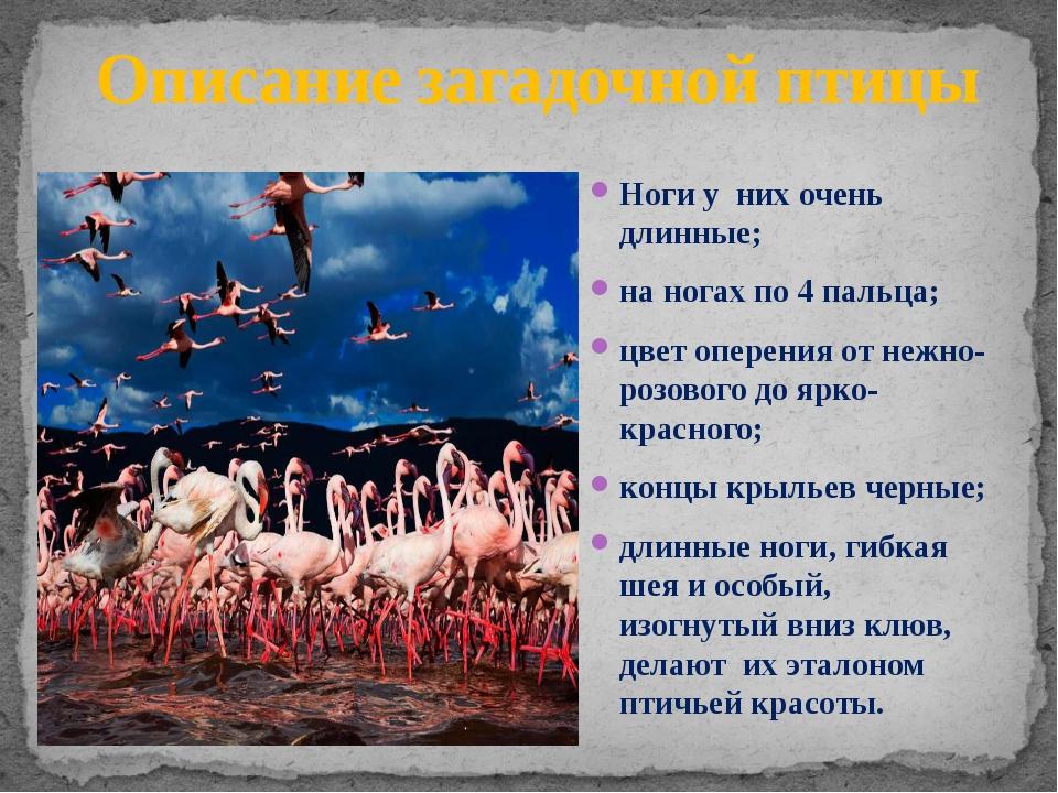 Описание загадочной птицы Ноги у них очень длинные; на ногах по 4 пальца; цв...