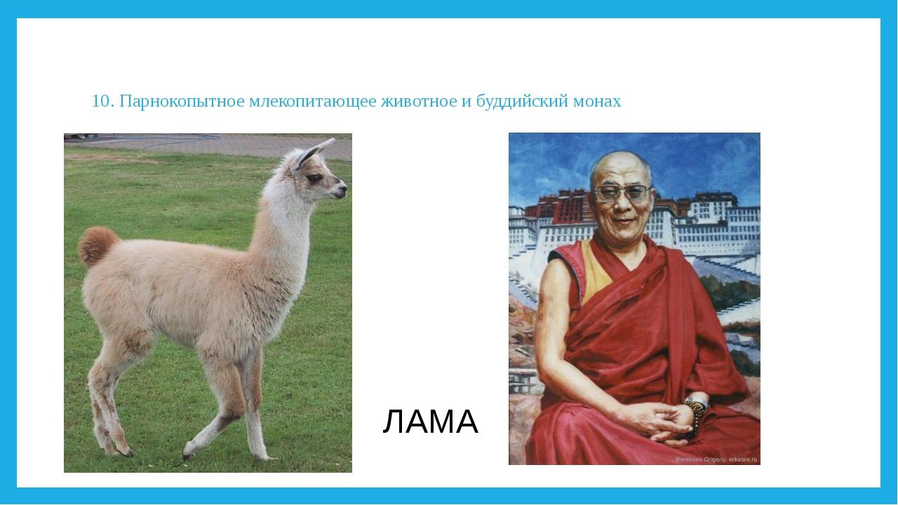 10. Парнокопытное млекопитающее животное и буддийский монах ЛАМА