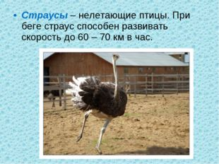 Страусы – нелетающие птицы. При беге страус способен развивать скорость до 60