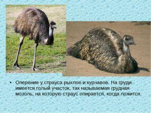 Оперение у страуса рыхлое и курчавое. На груди имеется голый участок, так наз