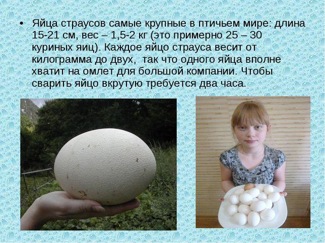Яйца страусов самые крупные в птичьем мире: длина 15-21 см, вес – 1,5-2 кг (э...