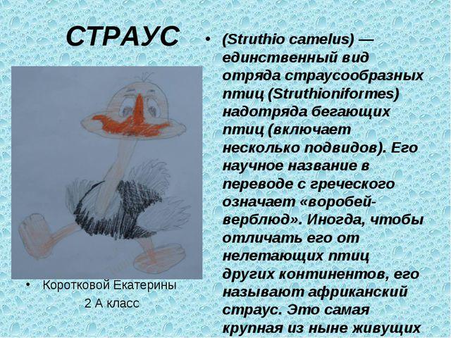 СТРАУС Коротковой Екатерины 2 А класс (Struthio camelus) — единственный вид о...