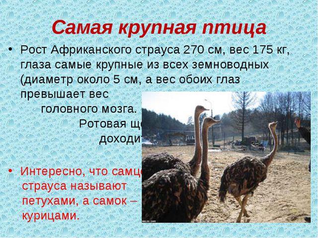 Самая крупная птица Рост Африканского страуса 270 см, вес 175 кг, глаза самые...