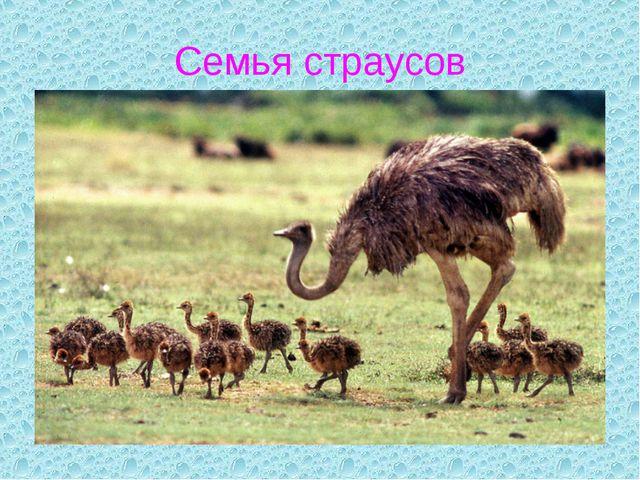 Семья страусов
