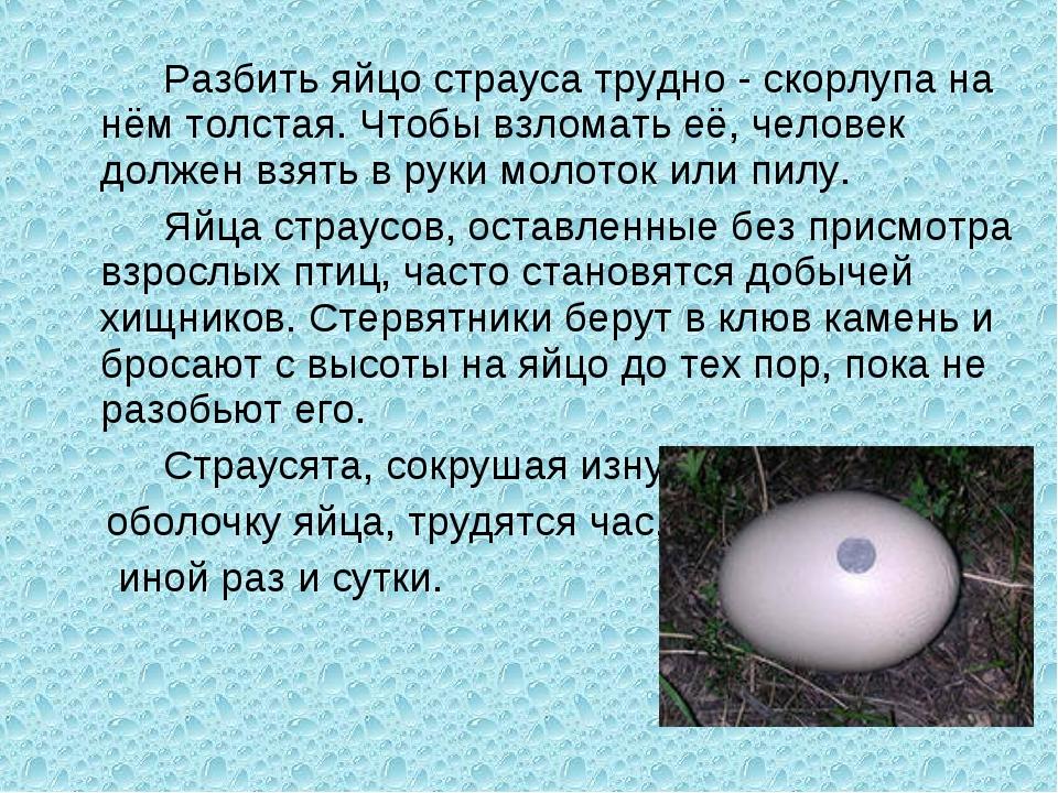 Разбить яйцо страуса трудно - скорлупа на нём толстая. Чтобы взломать её, че...