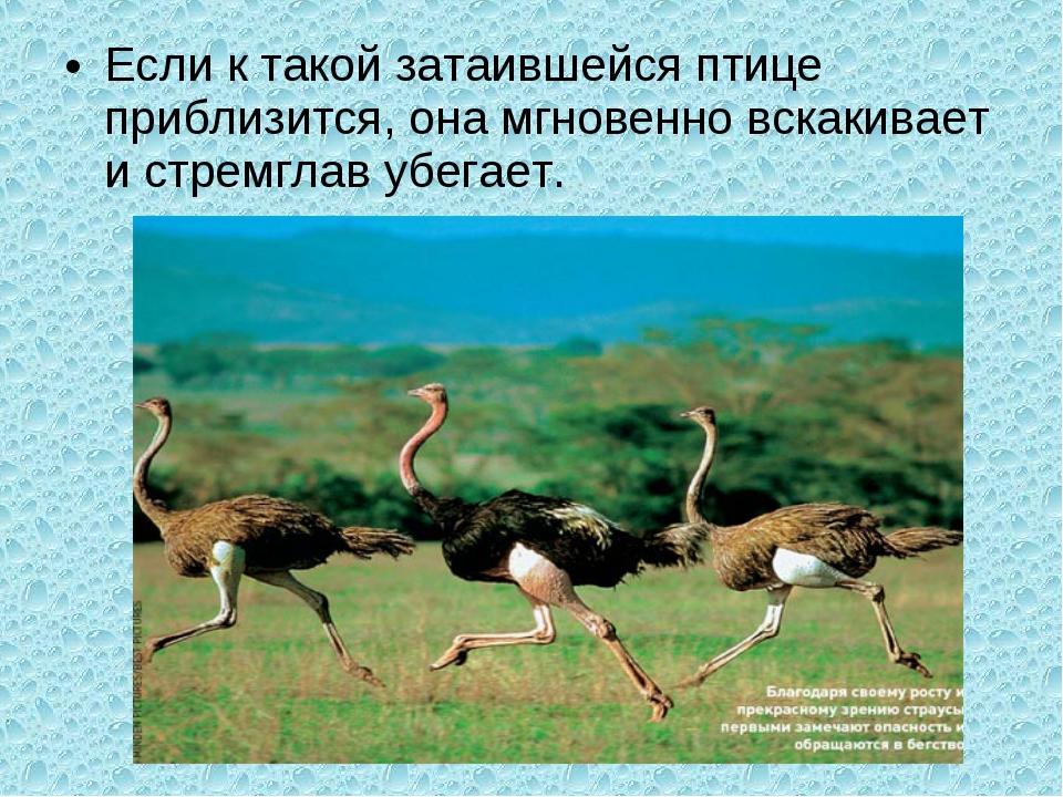 Если к такой затаившейся птице приблизится, она мгновенно вскакивает и стремг...