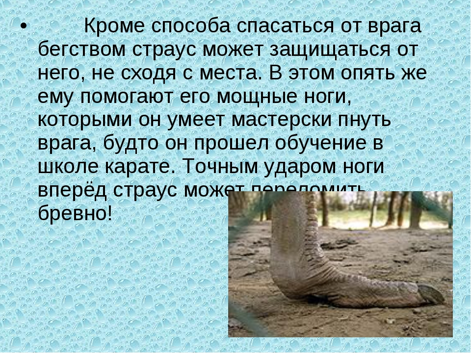Кроме способа спасаться от врага бегством страус может защищаться от него, н...