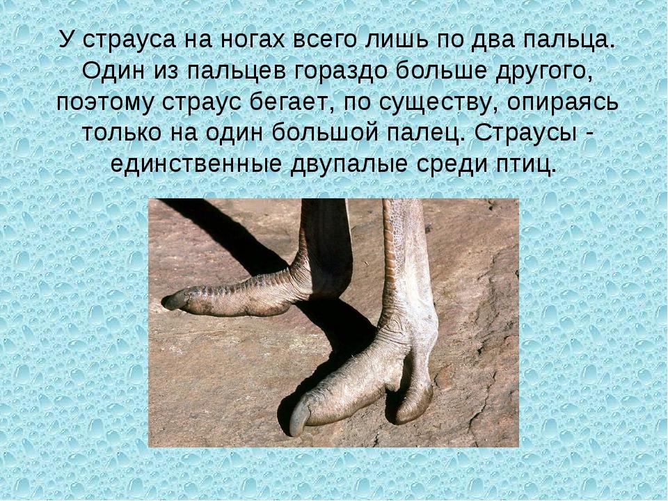 У страуса на ногах всего лишь по два пальца. Один из пальцев гораздо больше д...