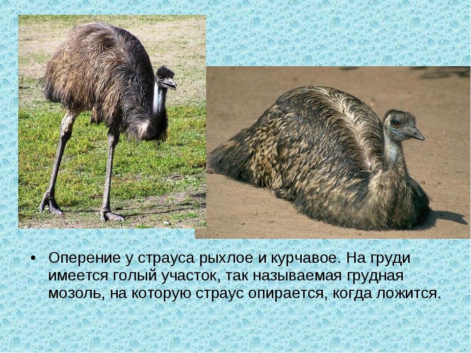 Оперение у страуса рыхлое и курчавое. На груди имеется голый участок, так наз...
