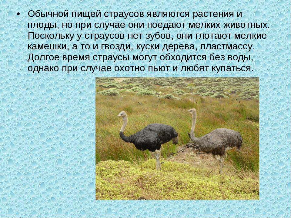 Обычной пищей страусов являются растения и плоды, но при случае они поедают м...