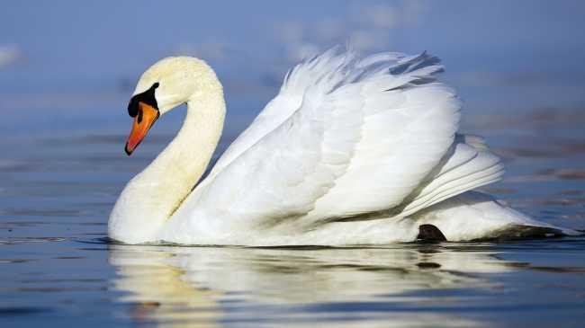 Обои на kards.qip.ru - Животные - Белый лебедь - Закачка