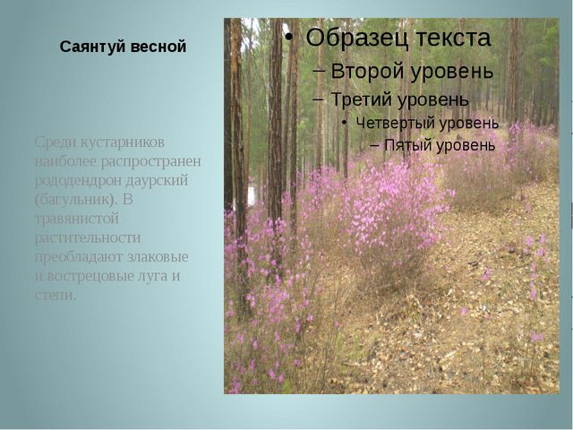 Саянтуй весной Среди кустарников наиболее распространен рододендрон даурский...