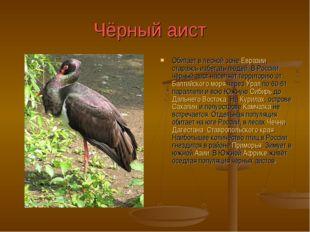 Чёрный аист Обитает в лесной зоне Евразии, стараясь избегать людей. В России