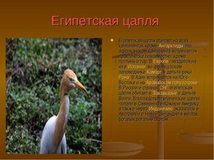 Египетская цапля Египетская цапля обитает на всех континентах кроме Антарктид