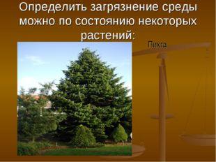 Определить загрязнение среды можно по состоянию некоторых растений: Пихта