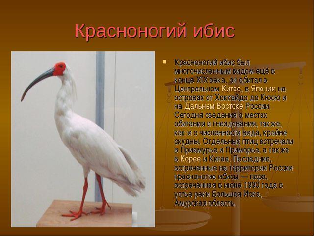 Красноногий ибис Красноногий ибис был многочисленным видом ещё в конце XIX ве...