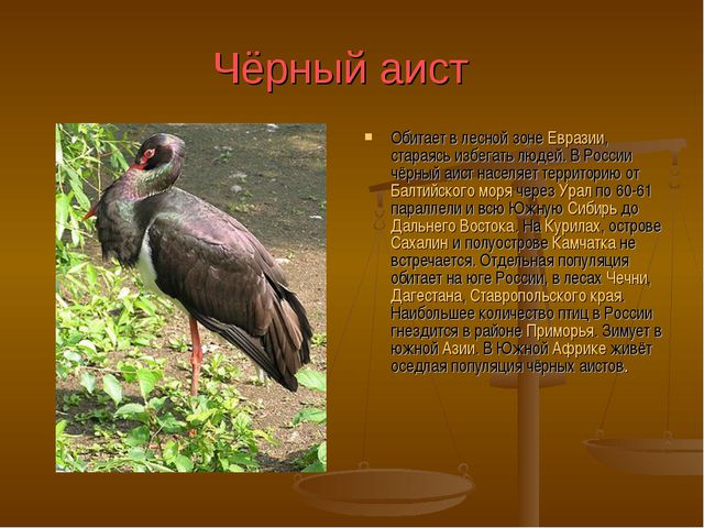 Чёрный аист Обитает в лесной зоне Евразии, стараясь избегать людей. В России...