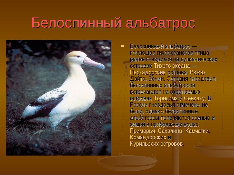 Белоспинный альбатрос Белоспинный альбатрос— кочующая тихоокеанская птица,...