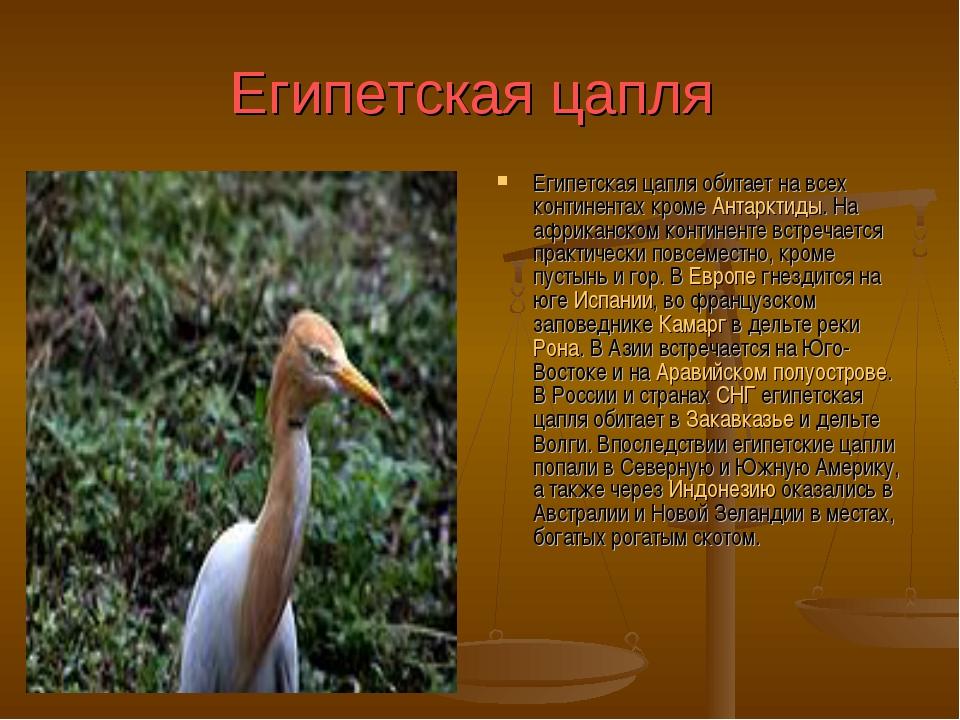 Египетская цапля Египетская цапля обитает на всех континентах кроме Антарктид...