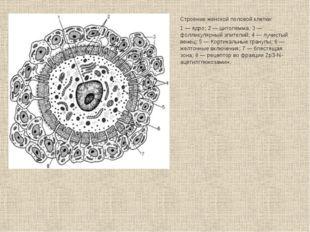 Строение женской половой клетки: 1 — ядро; 2 — цитолемма; 3 — фолликулярный э