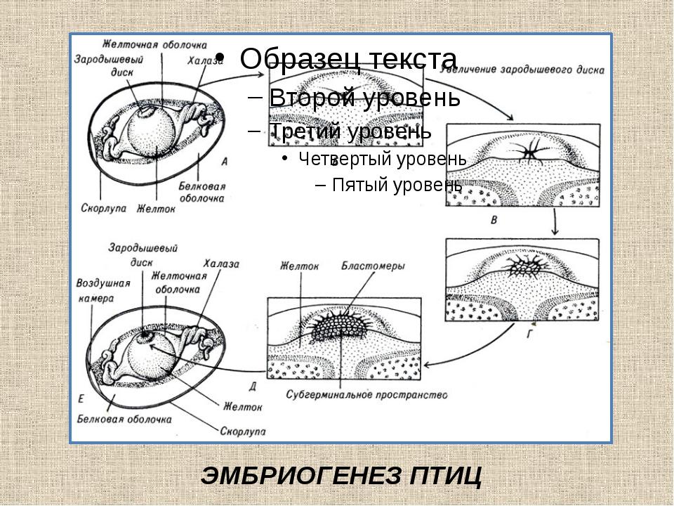ЭМБРИОГЕНЕЗ ПТИЦ