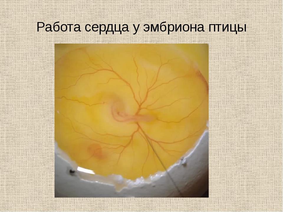 Работа сердца у эмбриона птицы
