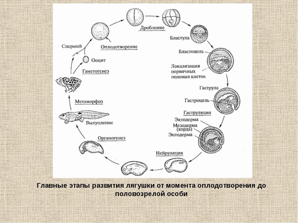 Главные этапы развития лягушки от момента оплодотворения до половозрелой особи
