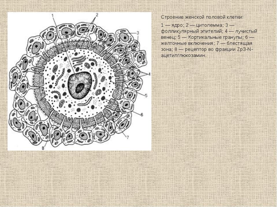 Строение женской половой клетки: 1 — ядро; 2 — цитолемма; 3 — фолликулярный э...