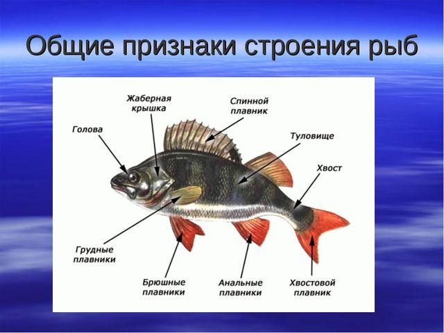 Общие признаки строения рыб
