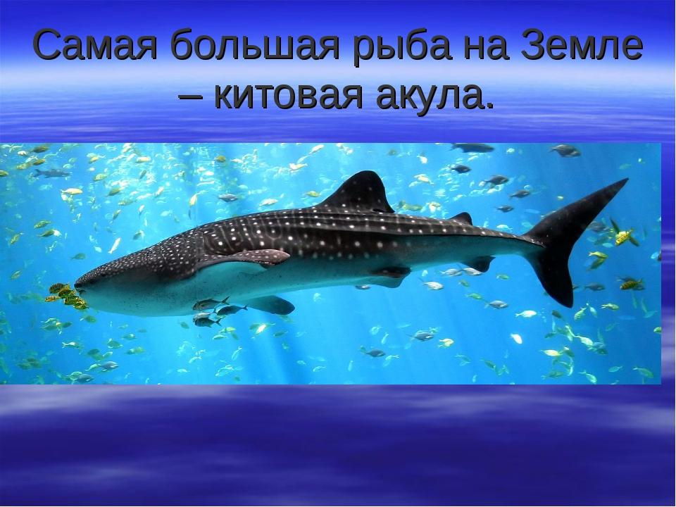 Самая большая рыба на Земле – китовая акула.