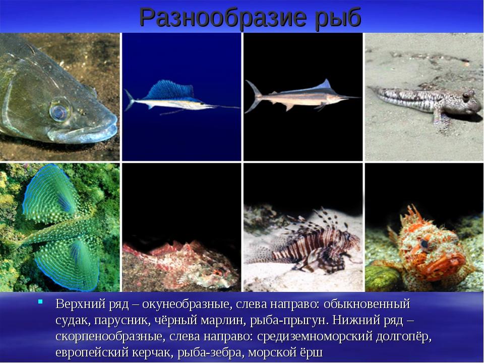 Разнообразие рыб Верхний ряд – окунеобразные, слева направо: обыкновенный суд...