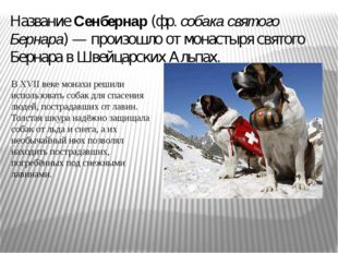 Название Сенбернар (фр. собака святого Бернара) — произошло от монастыря свят
