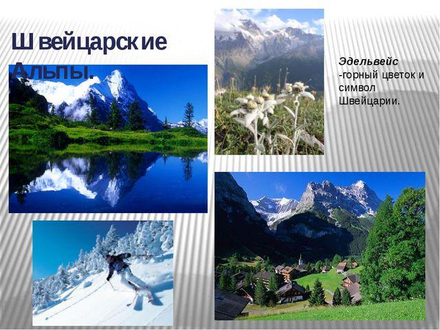 Швейцарские Альпы. Эдельвейс -горный цветок и символ Швейцарии.